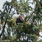 3581 Bald Eagle, Alaska