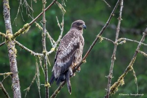 3582 Immature Bald Eagle, Alaska