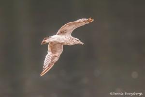 3583 Ring-billed Gull (Larus delawarensis), Alaska