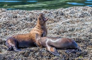 3592 Steller Sea Lions, Brothers Islands, Alaska