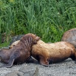 3593 Steller Sea Lions, Brothers Islands, Alaska