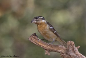 3631 Black-headed Grosbeak (Pheucticus melanocephalus), Sonoran Desert, Arizona
