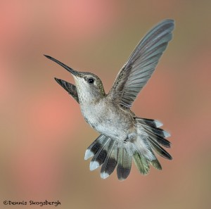 3634 Female Black-chinned Hummingbird (Archilochus alexandri), Sonoran Desert, Arizona