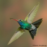 3636 Broad-billed Hummingbird (Cyanthus latirostris), Sonoran Desert, Arizona
