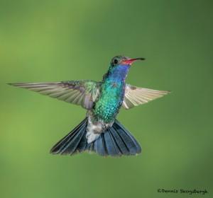 3637 Male Broad-billed Hummingbird (Cyanthus latirostris), Sonoran Desert, Arizona