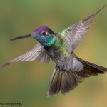 3638 Magnificent Hummingbird (Eugenes fulgaens), Sonoran Desert, Arizona