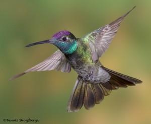 3638 Magnificent Hummingbird (Eugenes fulgaens), Sonoran Desert, Arizona