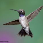 3639 Male Black-chinned Hummingbird (Archilochus alexandri), Sonoran Desert, Arizona