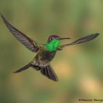 3641 Magnificent Hummingbird (Eugenes fulgens), Sonoran Desert, Arizona