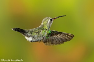 3644 Female Broad-billed Hummingbird (Cyanthus-latirostris), Sonoran Desert, Arizona