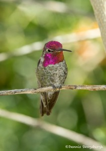 3645 Anna's Hummingbird (Calypte anna), Sonoran Desert, Arizona