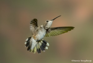 3648 Female Black-chinned Hummingbird (Archilochus alexandri), Sonoran Desert, Arizona