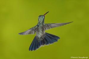 3650 Male Broad-billed Hummingbird (Cyanthus latirostris), Sonoran Desert, Arizona