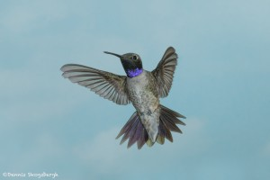 3652 Male Black-chinned Hummingbird (Archilochus alexandri), Sonoran Desert, Arizona