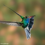 3653 Male Broad-billed Hummingbird (Cynanthus latirostris), Sonoran Desert, Arizona