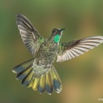 3654 Male Magnificent Hummingbird (Eugenes fulgens), Sonoran Desert, Arizona