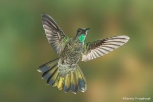 3654 Male Magnificent Hummingbird (Eugenes fulgens), Sonoran Desert, Arizona