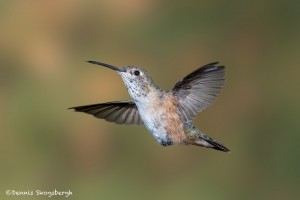 3656 Female Broad-tailed Hummingbird (Selasphorus platycercus), Sonoran Desert, Arizona