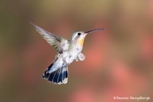 3657 Female Broad-billed Hummingbird (Cyananthus latirostris), Sonoran Desert, Arizona