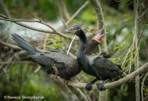 3666 Breeding Pair of Neotropic Cormorants ( Phalacrocorax brasilianus). High Island Rookery, Texas