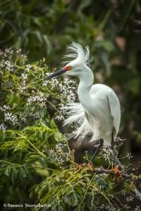 3667 Breeding Snowy Egret (Egretta thula). Anahuac NWR, Texas