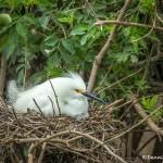 3668 Nesting Snowy Egret (Egretta thula). High Island Rookery, Texas