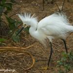3669 Breeding Snowy Egret (Egretta thula). High Island Rookery, Texas
