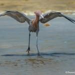 3670 Reddish Egret (Egretta rufescens). Anahuac NWR, Texas