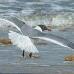 3675 Laughing Gull (Leucophaeus atricilla). Bolivar Peninsula, Texas