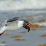 3677 Laughing Gull (Leucophaeus atricilla). Bolivar Peninsula, Texas