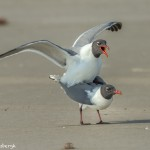 3679 Copulating Laughing Gulls, Bolivar Peninsula, Texas