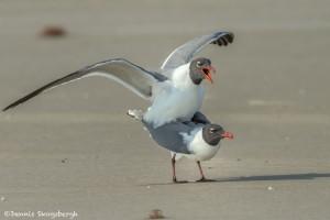 3679 Copulating Laughing Gulls, Bolivar Peninsula, Texas