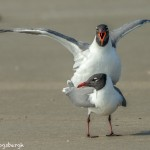 3680 Copulating Laughing Gulls, Bolivar Peninsula, Texas