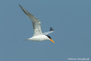 3682 Royal Tern (Thalasseus maximus), Bolivar Peninsula, Texas