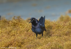 3683 Boat-tailed Grackle (Quiscalus major), Bolivar Peninsula, Texas