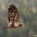 3684 Immature Bald Eagle, Alaska