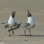3684 Laughing Gulls Courtship Display, Bolivar Peninsula, Texas