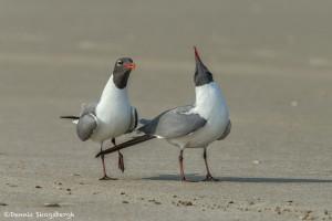 3684 Laughing Gulls Courtship Display, Bolivar Peninsula, Texas