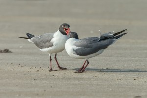 3685 Laughing Gulls Courtship Display, Bolivar Peninsula, Texas