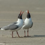 3686 Laughing Gull Courtship Ritual, Bolivar Peninsula, Texas