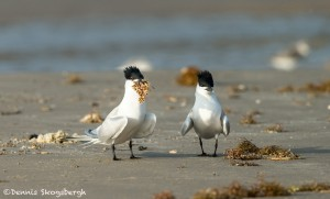 3687 Courting Ritual Sandwich Terns. Male Presents Food to Female. Bolivar Peninsula, Texas