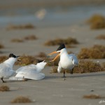 3688 'Kleptoparasitism' Sequence: Royal Tern Attempts Steal from Sandwich Tern Couple.