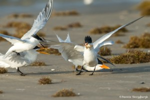 3689 'Kleptoparasitism' Sequence: Royal Terns Complete the Steal
