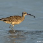 3695 Whimbrel (Numenius phaeopus), Bolivar Peninsula, Texas