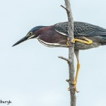 3696 Green Heron (Butorides virescens), Anahuac NWR, Texas