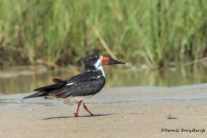 3697 Black Skimmer (Rynchops niger), Bolivar Peninsula, Texas