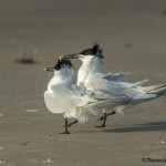 3698 Courtship Ritual, Sandwich Terns, Bolivar Peninsula, Texas