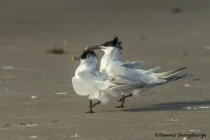 3698 Courtship Ritual, Sandwich Terns, Bolivar Peninsula, Texas