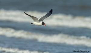 3700 Laughing Gull (Leuucophaeus atricilla), Bolivar Peninsula, Texas