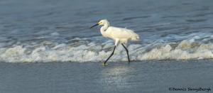 3701 Great Egret (Ardea alba), Bolivar Peninsula, Texas